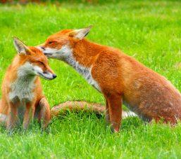 Red_Fox_(Vulpes_vulpes)_-British_Wildlife_Centre-8