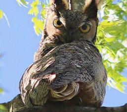Owl for Blog 2