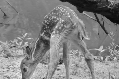 Nature-Walk-2-Day-Fawn-June-3-DSCN5539-DEBLURED-Oct-20_2017-3