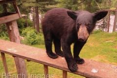 Black Bear 12