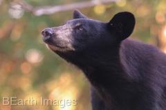 Black Bear 13