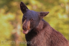Black Bear 14