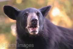 Black Bear 15