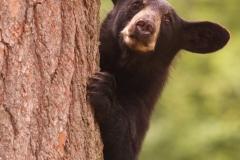 Black Bear 7