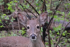 Deer Strolls Along