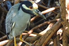 Yellow Crowned Heron