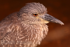 Young Night Heron
