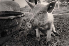 Black-and-White-Pig