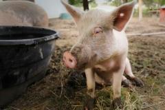 Pig-Sitting-2