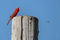 Cardinal-and-Wasp