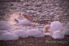 Saylorville Lake Pelican Bath