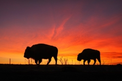 Bison-Sunset-Altered-Reality