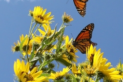 Monarchs-at-Neal-Smith-National-Wildlife-Refuge-4
