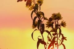 Monarchs-at-Sunrise