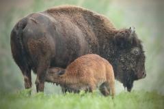 Baby-Bison-NursingFAV