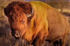 Buffalo-Close-4