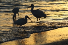 Sanibel Birds at Sunset 33