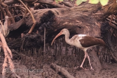 Sanibel Brown Ibis 4