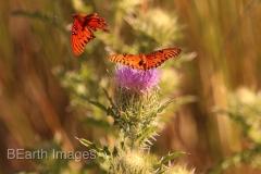 Sanibel Butterflies 15