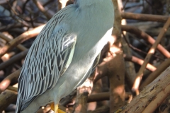 Sanibel Yellow Crowned Heron 36