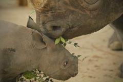 Baby-Rhino-and-Mama-VER2