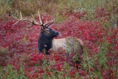 Elk-IMG_3514