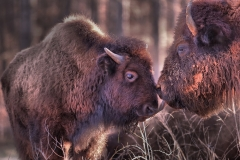 Two-Buffalo-Licking-With-Tags-Removed