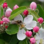 Bee_in_apple_blossom